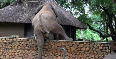 Elefante escala pared