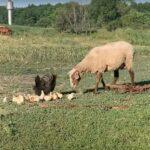 gallina encara a oveja