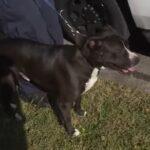 perro callejero pitbull